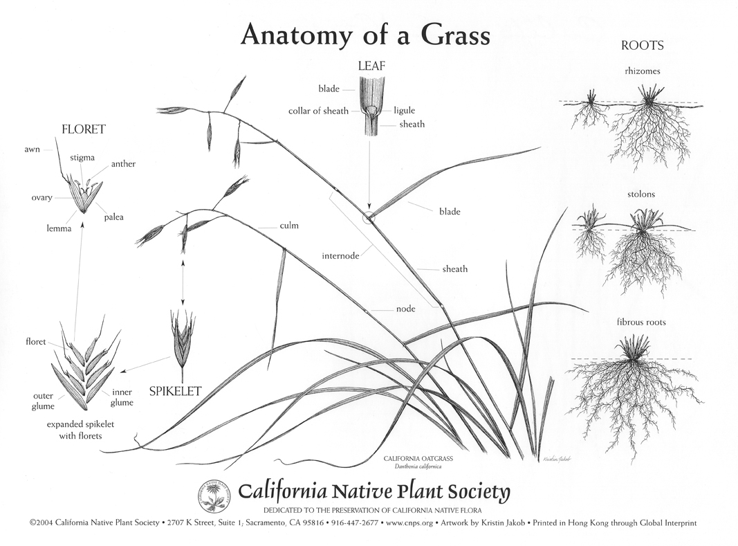 California Native Grasslands Association - How to Key a Grass